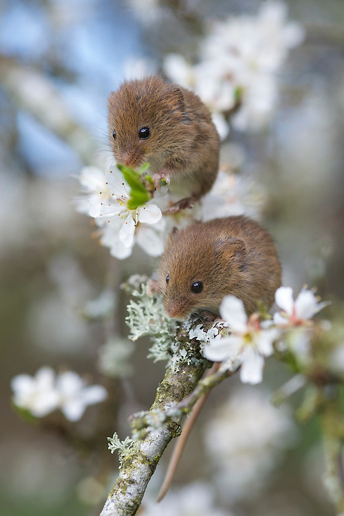 Harvest mouse enjoying a feast of blossom and pollen. Controlled conditions near Corwen N.Wales