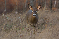 White-tailed doe in the northwoods of Wisconsin