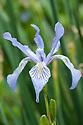 Iris missouriensis (syn. Iris montana), mid May.