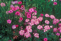 Pink color theme annuals flowers: mix Iberis umbellata 'Pink Flash' & Viscaria 'Rose Angel' GR8715