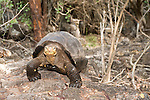 Charles Darwin Research Station, Puerto Ayora, Santa Cruz Island, Galapagos, Ecuador; a Galapagos Giant Tortoise (Geochelone elephantopus) from Espanola Island walking , Copyright © Matthew Meier, matthewmeierphoto.com All Rights Reserved
