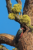 597940011 a wild male lewis woodpecker brings food to chicks in a cavity nest in a large pine tree in washington state