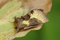 Burnished Brass Diachrysia chrysitis Length 20-22mm. An amazing and unmistakable moth that rests with its wings held in a tent-like manner. Adult has golden, metallic-looking patches on otherwise brown forewings; the thorax and head are adorned with orange-brown tufts. Double-brooded: flies June–July, and August-September. Larva feeds on Common Nettle and other herbaceous plants. Widespread and generally common.