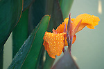 Water droplets sit on the bloom of an orange canna.