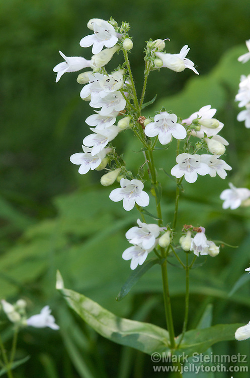 Foxglove Beardstongue (Penstemon digitalis). A plant native to Eastern North America, found in meadows, prairies, and open woodlands.  Pollinated mostly by bees. Host plant for Buckeye butterfly.