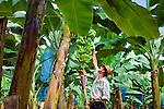 Costa Rica, Puerto Viejo de Sarapiqui, Banana Plantation