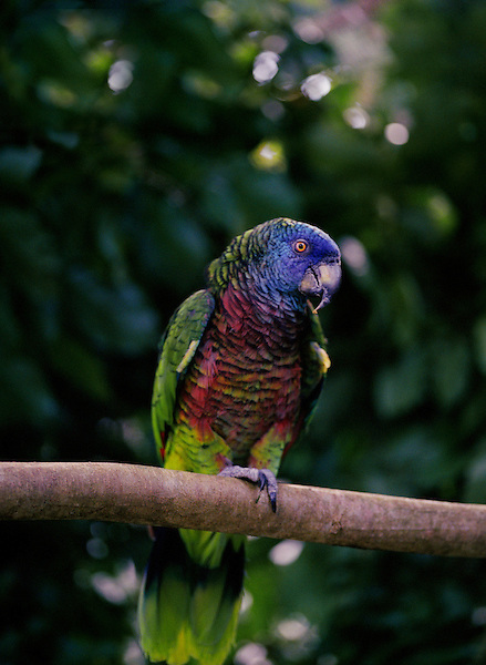 EDMUND FOREST RESERVE, ST.LUCIA : A St. Lucia Parrot. As its name suggests, the St. Lucia Parrot, or Jacquot, is found only on the island of St. Lucia in the West Indies where it lives in the central mountain rainforest. St. Lucia, W.I
