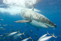 Great White Shark Carcharodon carcharias aka White Pointer and White Death