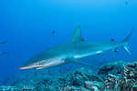 San Benedicto Island, Revillagigedos Islands, Mexico; a Galapagos shark swimming over the rocky reef