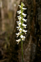Fragrant ladies'-tresses deep in a slough in the Big Cypress National Preserve. I have seen literally hundreds of these in dense areas of thes swamps. Be prepared to walk in ankle-deep flooded forest in November and December!