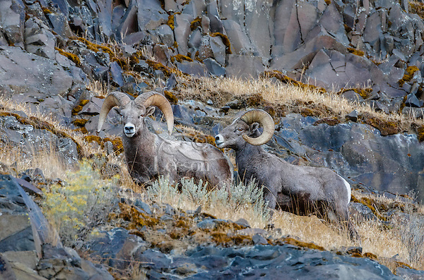 Two Bighorn Sheep (Ovis canadensis) rams near the John Day and Columbia Rivers in North Central Oregon.  October.   Note: These sheep were formerly known as California Bighorn, but are now classified with Rocky Mountain Bighorn.