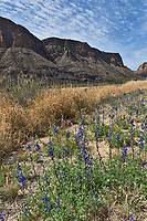 More bluebonnets along the River Rd in Big Bend State Park in a vertical format.
