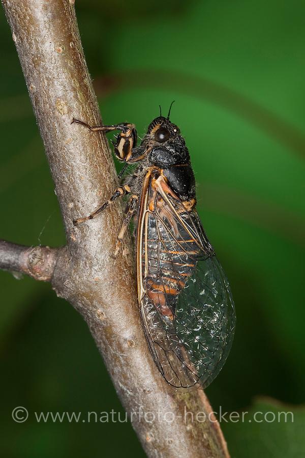 Bergzikade, Berg-Zikade, Bergsingzikade, Berg-Singzikade, Singzikade, Sing-Zikade, Zikade, Cicadetta montana, New Forest cicada