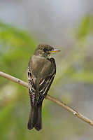 Eastern Wood-Pewee, Contopus virens, adult, South Padre Island, Texas, USA, May 2005