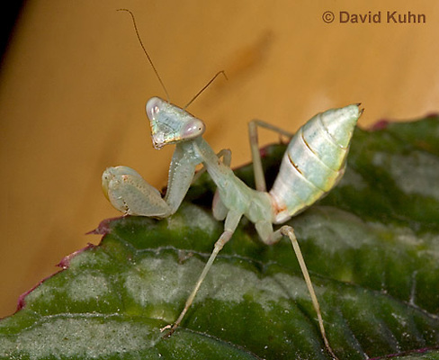 "0718-07nn  Wide armed mantis - Cilnia humeralis ""Nymph"" © David Kuhn/Dwight Kuhn Photography"