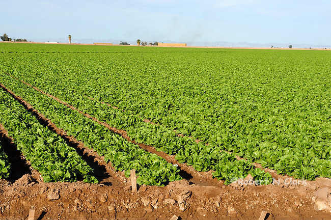 Lettuce fields in the Imperial Valley, CA