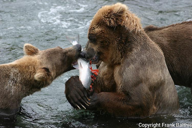 Alaska brown bears and salmon at Katmai NP