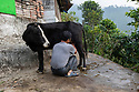 India - Sikkim - Farmer Azing Lepcha, 57, milking one of his cows early in the morning at his farm.<br /> <br /> In 2003, Azing inherited 5 acres of family farmland. The terraced land had been covered in maize monoculture since the 1970s, and the constant application of urea - a common and inexpensive nitrogen fertiliser - for more than 25 years had further depleted the already poor, arid soil. <br /> <br /> In 2004 Azing started converting the land into a fruit farm, planting its hilly slopes with pineapples, guavas, bananas, mangoes, papayas and jackfruits. The beginnings weren't promising. Azing didn't give up and decided to diversify his activities by producing homemade honey and using the fruit surplus to brew non-alcoholic wines. The idea worked, attracting a constant trickle of visitors. Azing opened a home stay to host them within the farm, combining organic farming and sustainable tourism in a virtuous circle. Nowadays the farm welcomes more than 300 Indian and international visitors every month, and his fruit, veg and eggs reach the best 5-star-hotel in Gangtok.