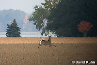 1107-0801  White-tailed Deer, Alert and Running with White Tail Up in Autumn, Buck with Antlers, Odocoileus virginianus  © David Kuhn/Dwight Kuhn Photography.