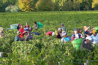 Harvest workers picking grapes. Chateau Margaux, Bordeaux, France