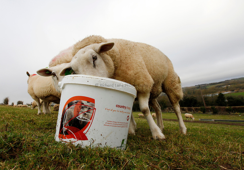 Photo: Richard Lane/Richard Lane Photography. Sheep feeding from buckets at Langford, Wiltshire. 03/01/2013.