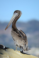 Brown Pelican (Pelecanus occidentalis) Pelecanus occidentalis californicus, La Jolla, California, USA