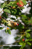 01415-03119 Cedar Waxwing (Bombycilla cedrorum) eating berry in Serviceberry Bush (Amelanchier canadensis), Marion Co., IL
