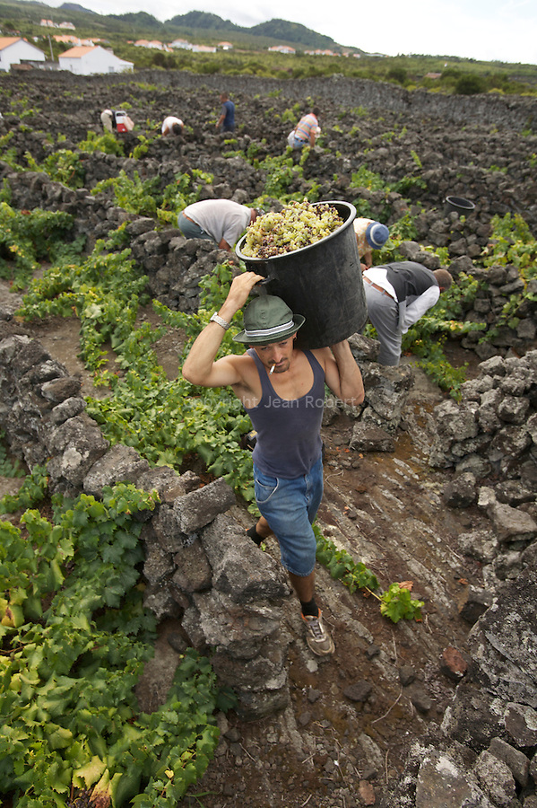 Men harvesting grapes amongst the labyrinth of black volcanic stones walls. Pico island