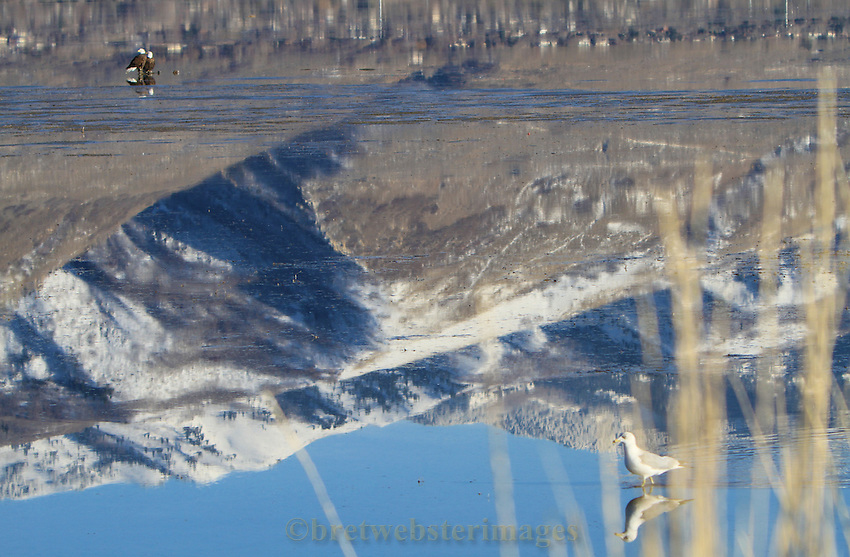 A pair of Bald Eagles rest with the Wasatch Mountains reflecting.