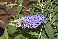 Buddleja Lilac Chip Lo and Behold, aka Buddleia butterfly bushin flower