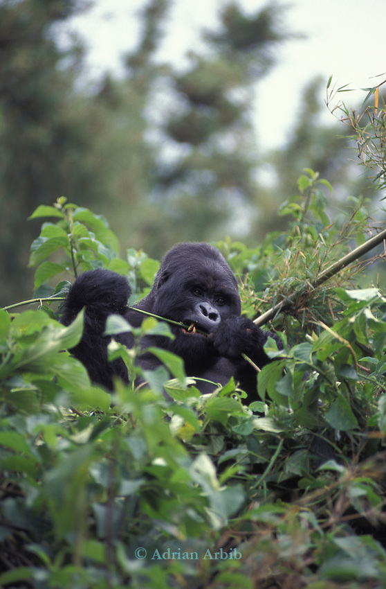 A silverback gorilla in the Parc Des Volcans in Rwanda.  .
