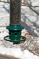 Birdfeeder and red bellied woodpecker, birds, snow in winter