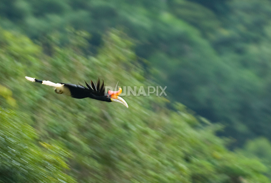A rhinocerous hornbill swoops over the Batang Meringin River in Kerinci Seblat National Park, Sumatra. Unlike most birds, hornbills aren't equipped with wing silencers. Their WHOOSH-WHOOSH-WHOOSHING sounds awesome and ancient.