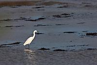 Europe/France/Aquitaine/33/Gironde/Bassin d'Arcachon/Le Teich: Parc Ornithologique du Teich _ Aigrette garzette