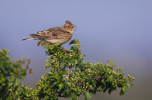 Eurasian Skylark, Alauda arvensis, male singing, National Park Lake Neusiedl, Burgenland, Austria, Europe