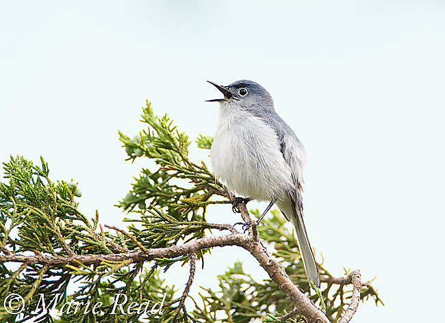 Blue-gray Gnatcatcher (Polioptila caerulea), male in breeding plumage singing, Wichita Mountains National Wildlife Refuge, Oklahoma, USA