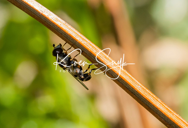 HALFWEG - insecten op de golfbaan , zweefvlieg, Amsterdamse Golf Club. (AGC)  . Insecteninventarisatie  COPYRIGHT KOEN SUYK