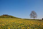 Europa, DEU, Deutschland, Hessen, Odenwald, Fruehling, Bluehender Loewenzahn, Blauer Himmel, Wolkenlos, Kategorien und Themen, Natur, Umwelt, Landschaft, Jahreszeiten, Stimmungen, Landschaftsfotografie, Landschaften, Landschaftsphoto, Landschaftsphotographie, Tourismus, Touristik, Touristisch, Touristisches, Urlaub, Reisen, Reisen, Ferien, Urlaubsreise, Freizeit, Reise, Reiseziele, Ferienziele....[Fuer die Nutzung gelten die jeweils gueltigen Allgemeinen Liefer-und Geschaeftsbedingungen. Nutzung nur gegen Verwendungsmeldung und Nachweis. Download der AGB unter http://www.image-box.com oder werden auf Anfrage zugesendet. Freigabe ist vorher erforderlich. Jede Nutzung des Fotos ist honorarpflichtig gemaess derzeit gueltiger MFM Liste - Kontakt, Uwe Schmid-Fotografie, Duisburg, Tel. (+49).2065.677997, ..archiv@image-box.com, www.image-box.com]