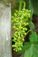 grape bunch in early stage of development chateau la gaffeliere saint emilion bordeaux france