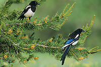 Black-billed Magpies.  Western U.S., summer.