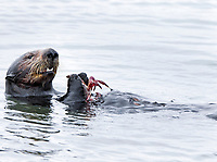 A young sea otter, Enhydra lutris nereis, @ Moss Landing in the Monterey Bay National Marine Sanctuary, has captured a nice size red crab to eat.