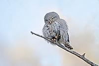 Northern Pygmy Owl, Alberta, Canada