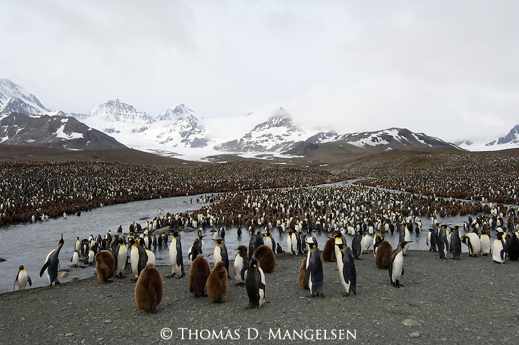 A king penguin colony at Gold Harbour on South Georgia.
