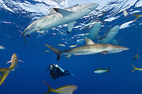 TH2040-D. Silky Sharks (Carcharhinus falciformis) and scuba diver (model released). Once quite abundant and widespread, this species has suffered dramatic reduction of numbers due to shark fishing. In some regions populations are now classified as threatened by the International Union for Conservation of Nature (IUCN) as a result of intensive fishing for their fins, which are highly valued as an ingredient in shark fin soup popular in Asian markets. Luckily, the population in the Gardens of the Queen no-take zone is healthy and stable thanks to strict protection. Cuba, Caribbean Sea.<br /> Photo Copyright &copy; Brandon Cole. All rights reserved worldwide.  www.brandoncole.com