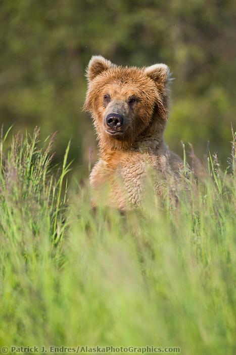 Brown bear in summer gasses along the Brooks river, Katmai National Park, Alaska