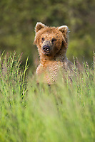 Brown bear in summer gasses along the Brooks River, Katmai National Park, Alaska