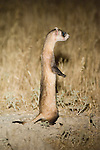 A black-footed ferret standing upright in Buffalo Gap National Grasslands, South Dakota.