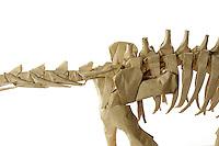 Detail of Origami model.<br /> Titanosaur designed by Fumiaki Kawahata (modified), folded by Michael Verry
