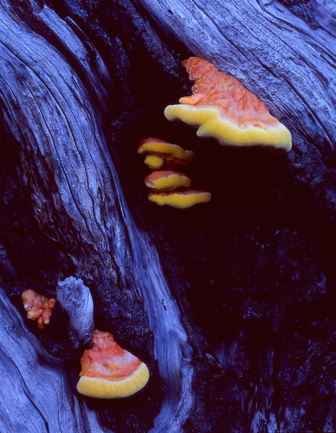 Colorful Mushrooms on Tree, Mt. St. Helens National Volcanic Monument, Washington, US