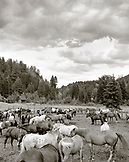 USA, Montana, horses in a corral, Mountain Sky Guest Ranch (B&W)